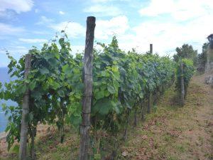 Le vigne di raffaele Palma
